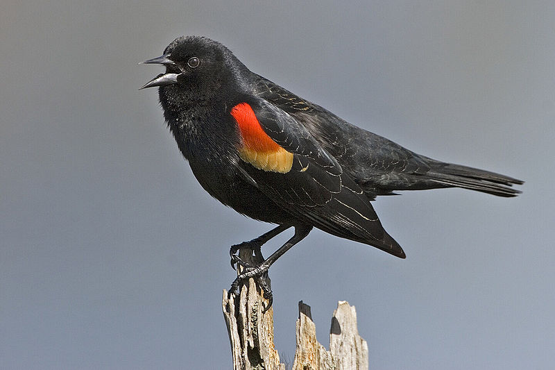 800px-Red_winged_blackbird_-_natures_pics