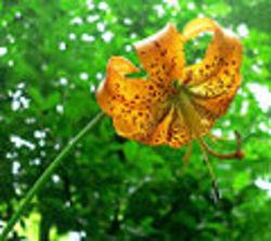 Liliumsuperbum_american_tiger_lily