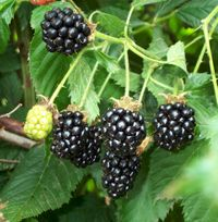 Blackberry_cluster